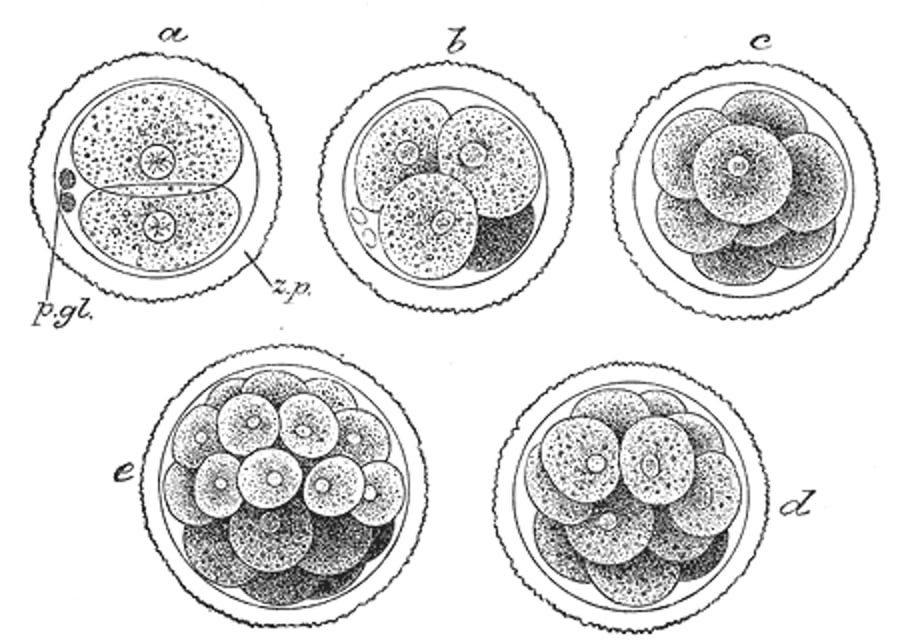 mammalian embryonic cells dividing while there is still no body axeas - Підлітки готові лягти під ніж, щоб виглядати як на фільтрах Snapchat - Заборона