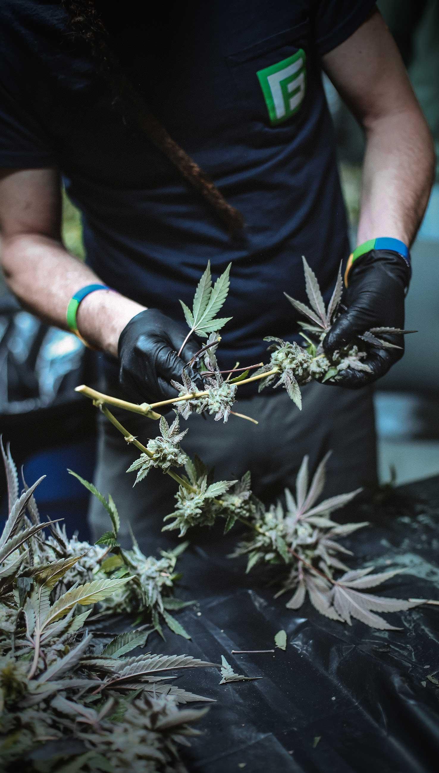 У Мексиці повністю легалізували марихуану. Заборона розповідає, де ще дозволений канабіс і як із цим в Україні